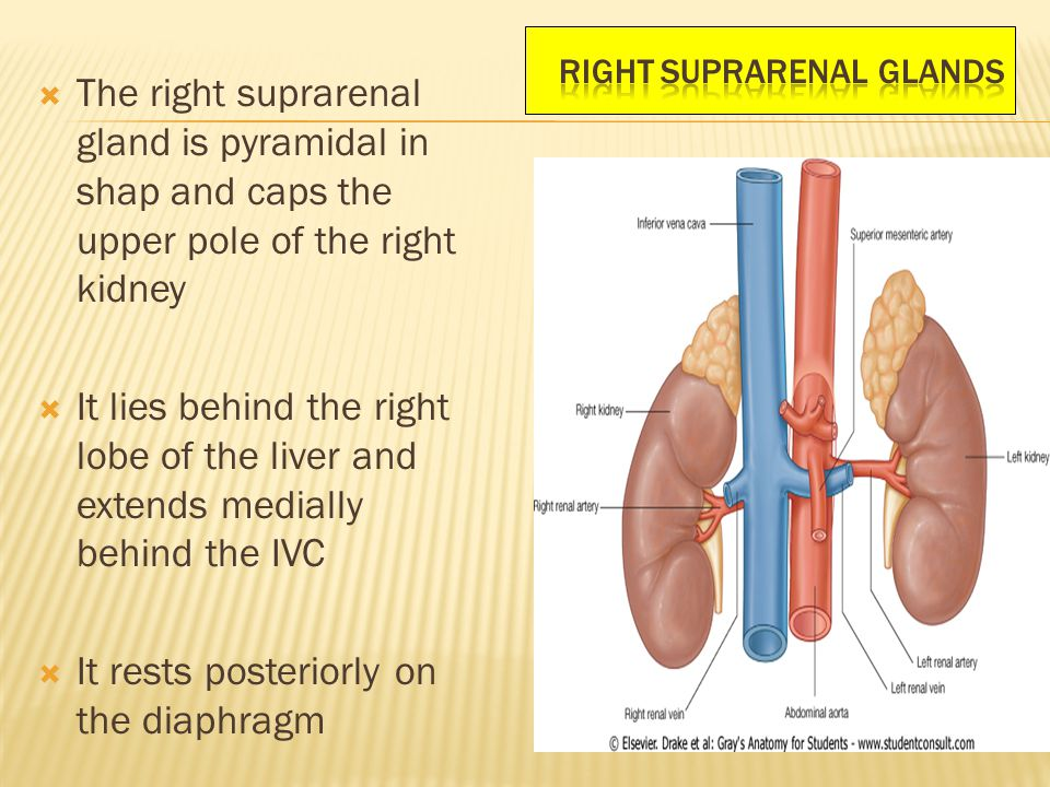 the suprarenal gland essay It includes the histological , phsiological , pathological and histopathological charaterstics of adrenal gland slideshare uses cookies to improve functionality and performance, and to provide you with relevant advertising.