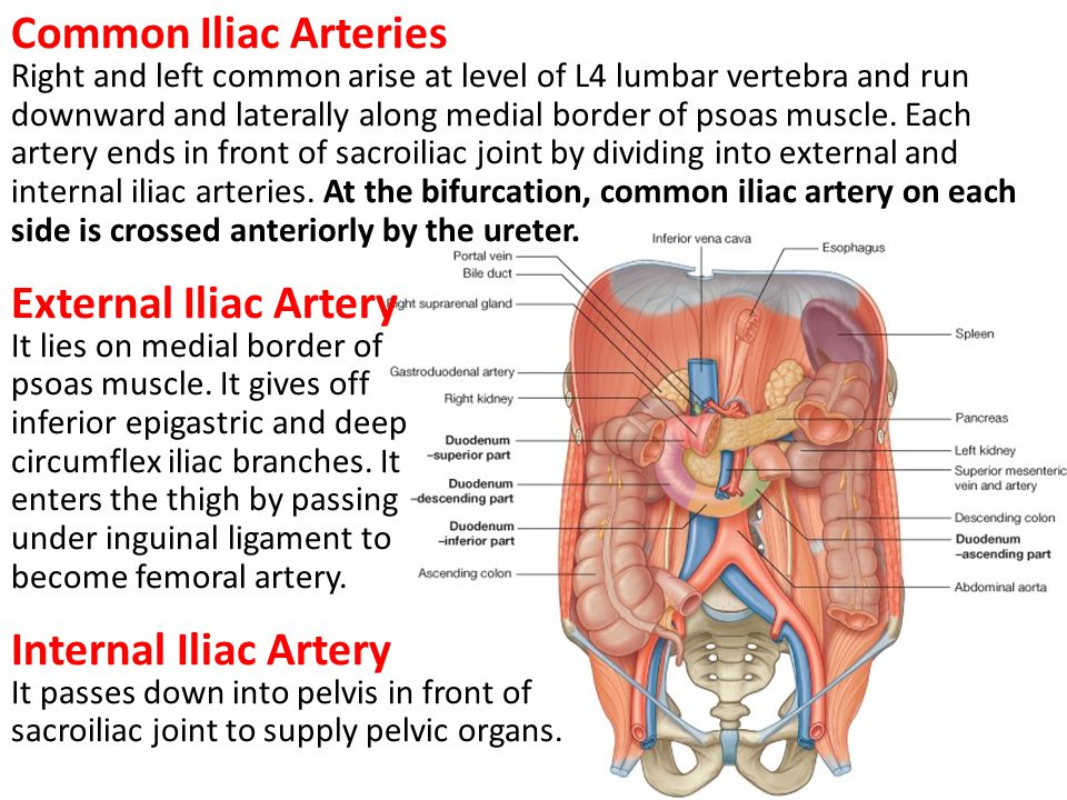 Common Iliac Arteries External Iliac Artery Internal Iliac Artery