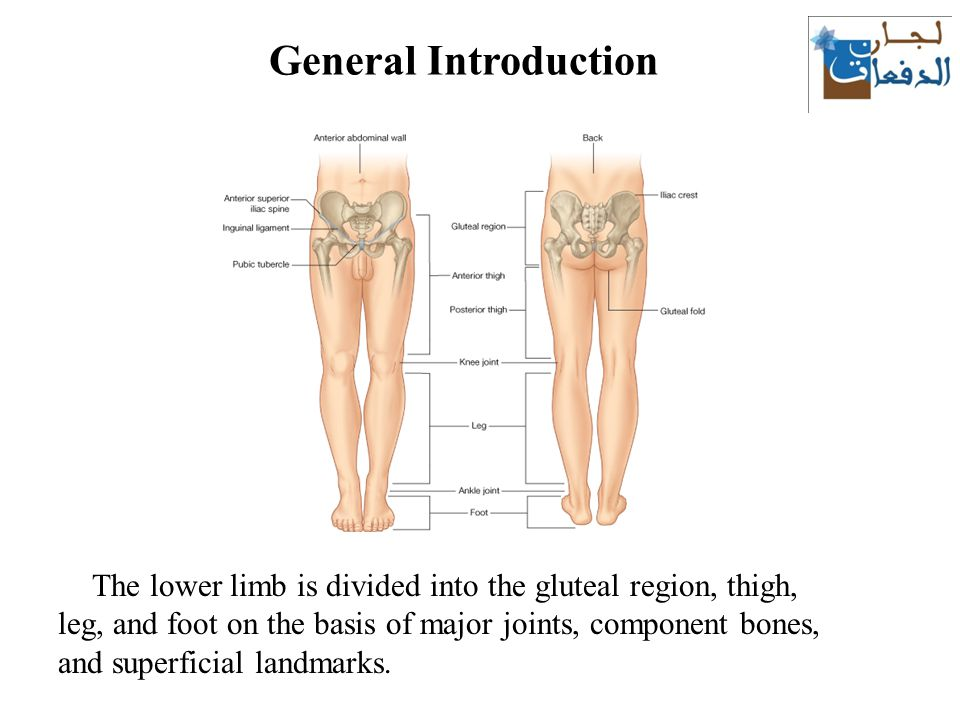 Anatomy Of Lower Limb Lecture 1 Ppt Video Online Download