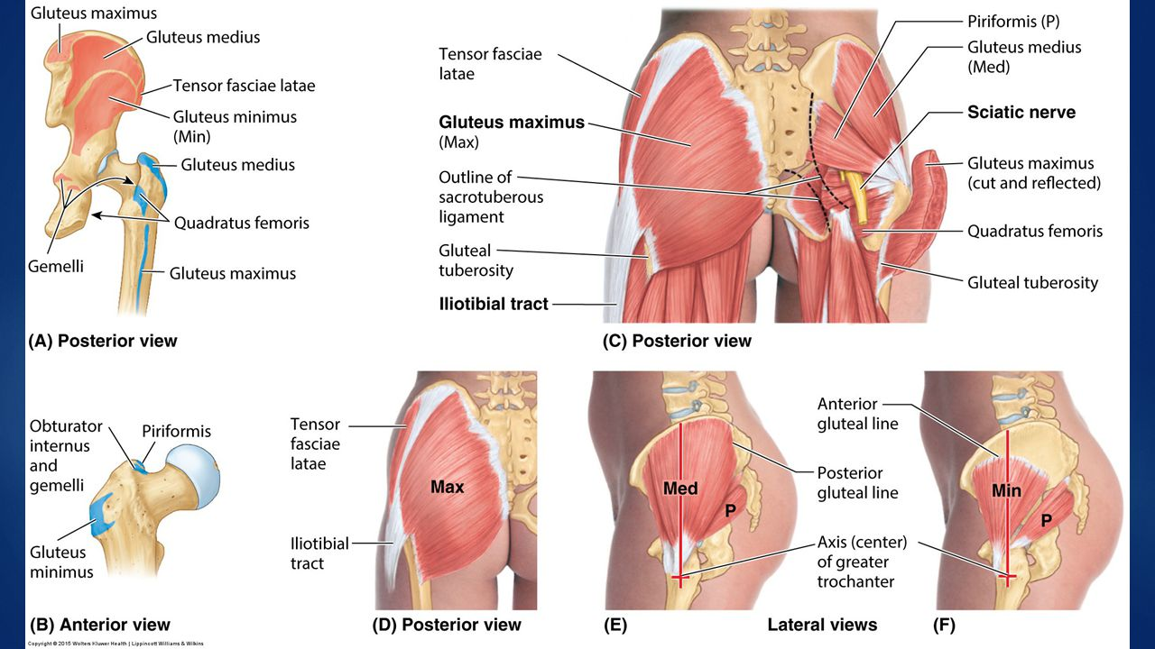 Osteology, ligaments, gluteal musculature - ppt video online download