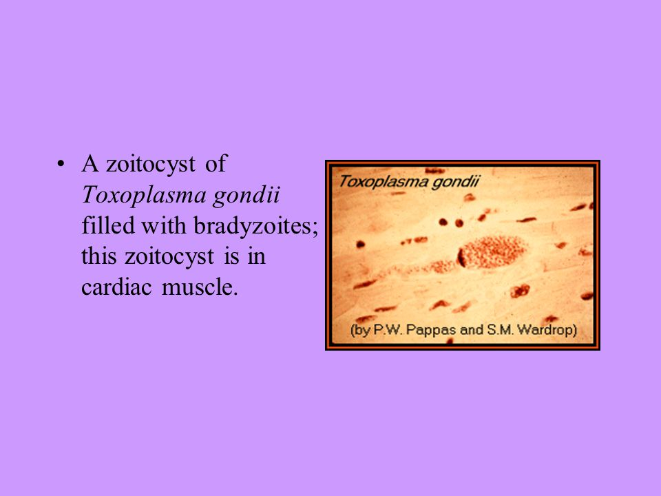 Toxoplasma gondii antitestek (IgG, IgM)