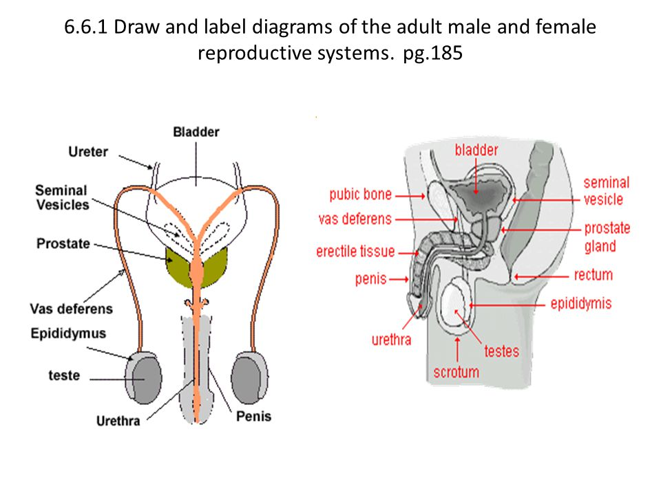 Topic 66 ib biology 2 van roekel ppt video online download 5 661 draw and label diagrams of the adult male and female reproductive systems pg185 ccuart Choice Image