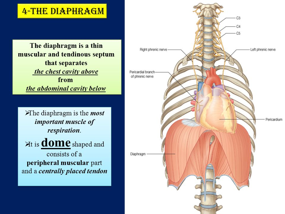 4-The diaphragm The diaphragm is a thin muscular and tendinous septum that separates. the chest cavity above.