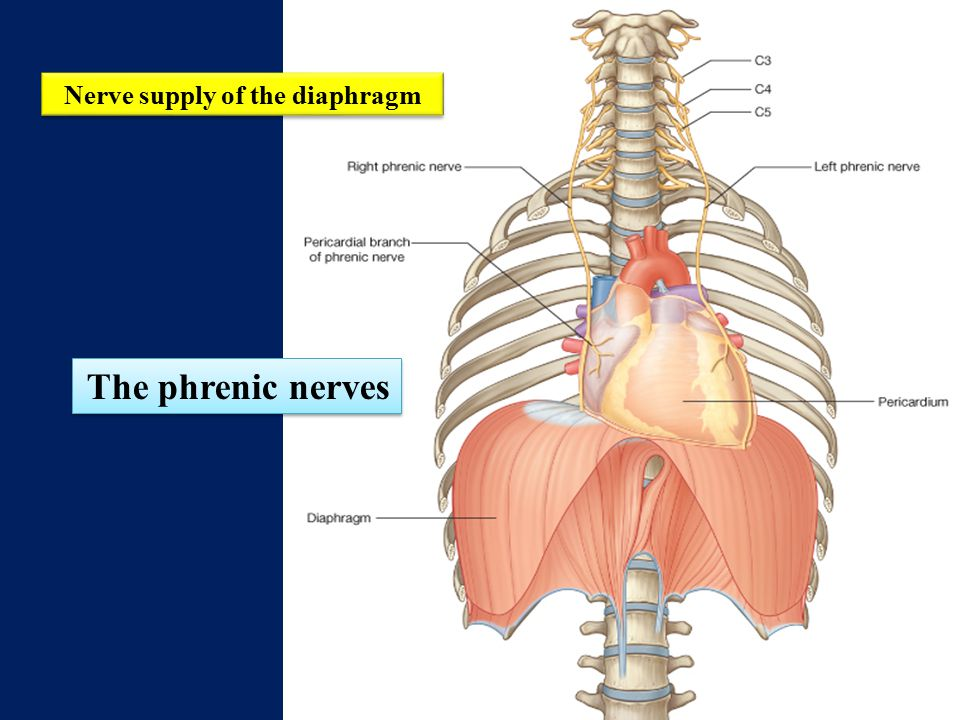 Nerve supply of the diaphragm
