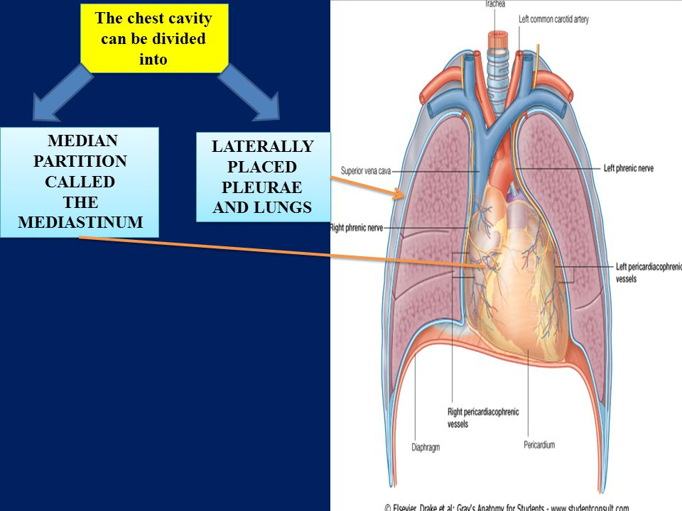 The chest cavity can be divided into