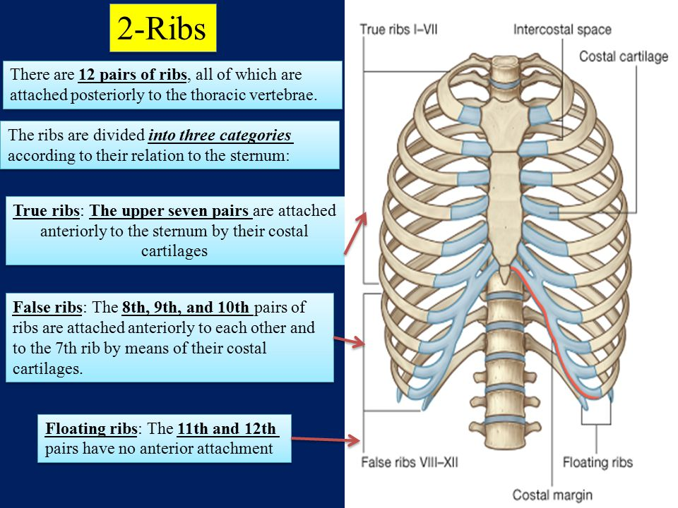 2-Ribs There are 12 pairs of ribs, all of which are attached posteriorly to the thoracic vertebrae.