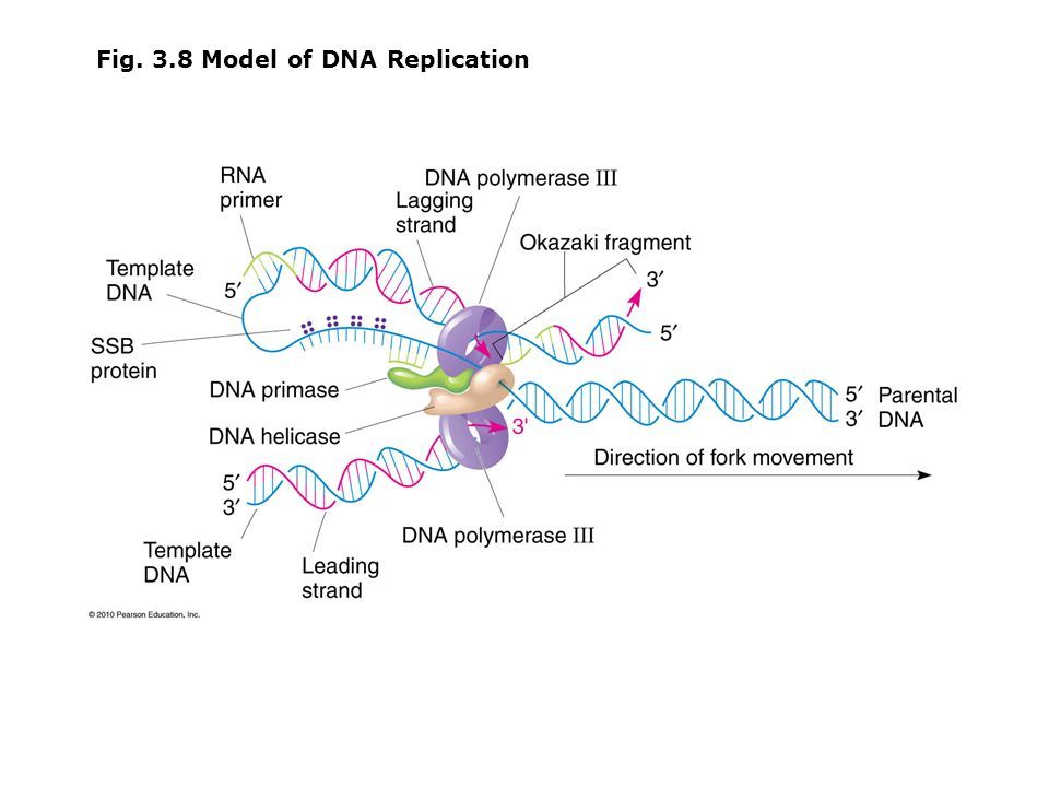 Fig. 3.8 Model of DNA Replication