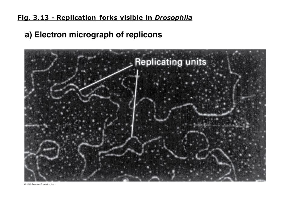 Fig. 3.13 - Replication forks visible in Drosophila