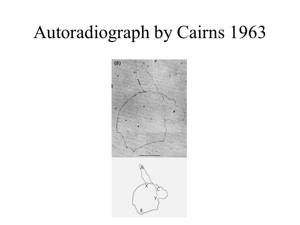 Autoradiograph by Cairns 1963