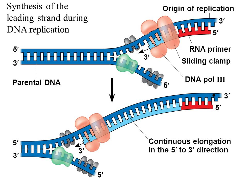 Dna replication 5 to 3 diagram trusted wiring diagram chapter 13 dna replication ppt download dna replication made easy dna replication 5 to 3 diagram ccuart Gallery
