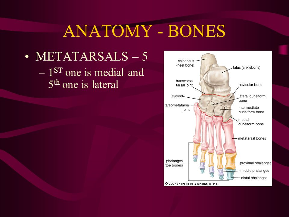 Chapter 14 - THE FOOT. - ppt video online download