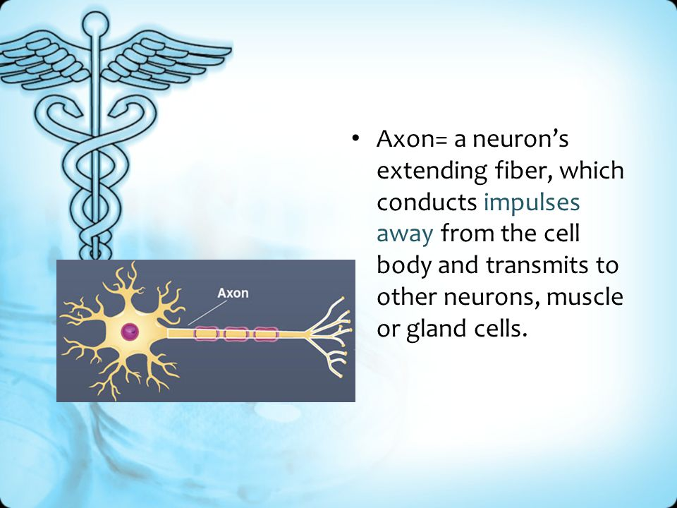Axon= a neuron's extending fiber, which conducts impulses away from the cell body and transmits to other neurons, muscle or gland cells.