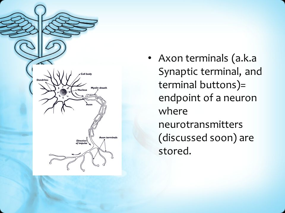 Axon terminals (a.k.a Synaptic terminal, and terminal buttons)= endpoint of a neuron where neurotransmitters (discussed soon) are stored.