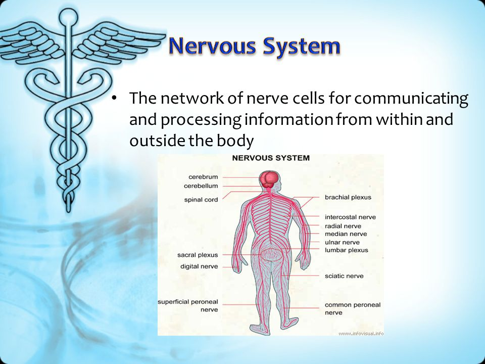 Nervous System The network of nerve cells for communicating and processing information from within and outside the body.