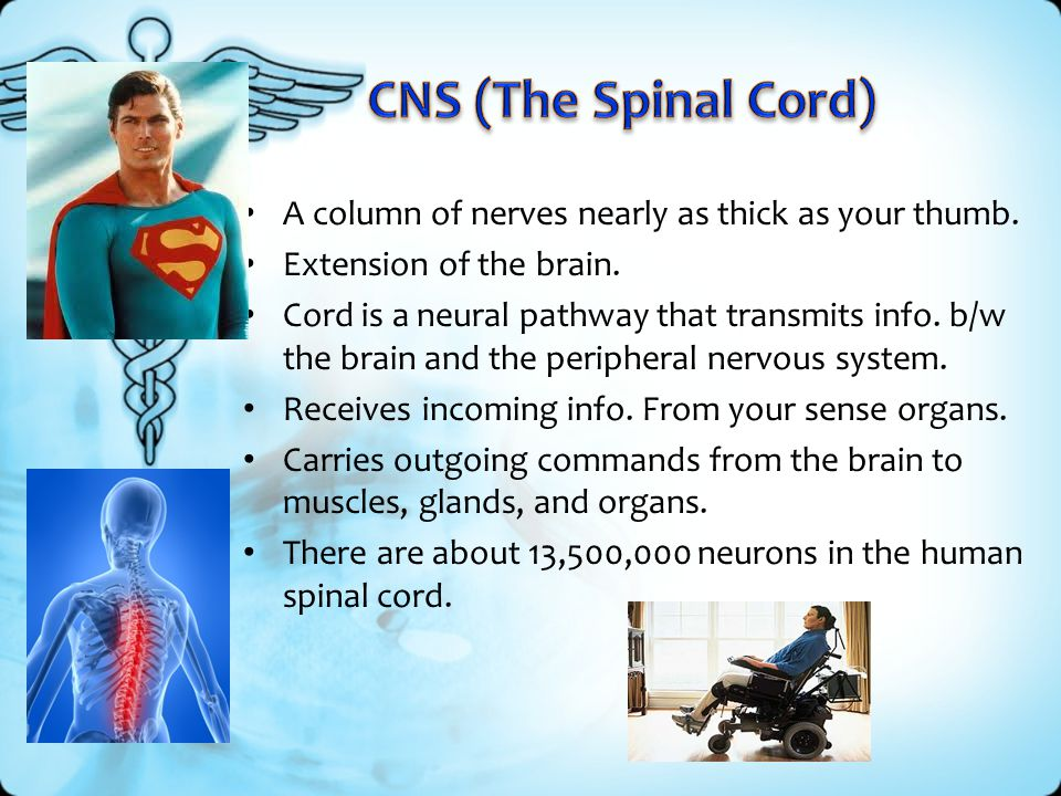 CNS (The Spinal Cord) A column of nerves nearly as thick as your thumb. Extension of the brain.