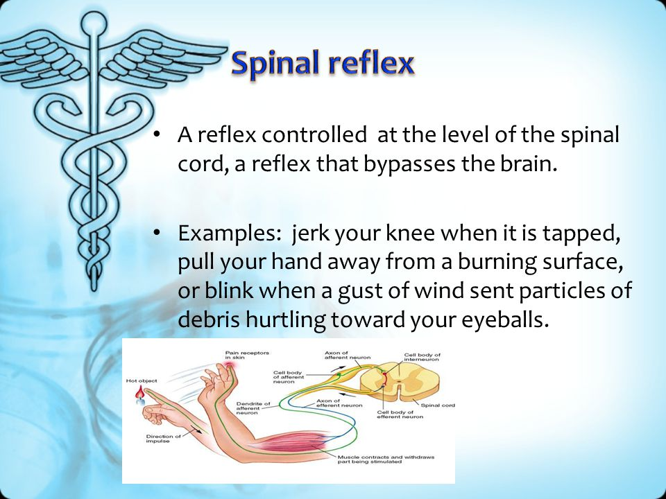 Spinal reflex A reflex controlled at the level of the spinal cord, a reflex that bypasses the brain.