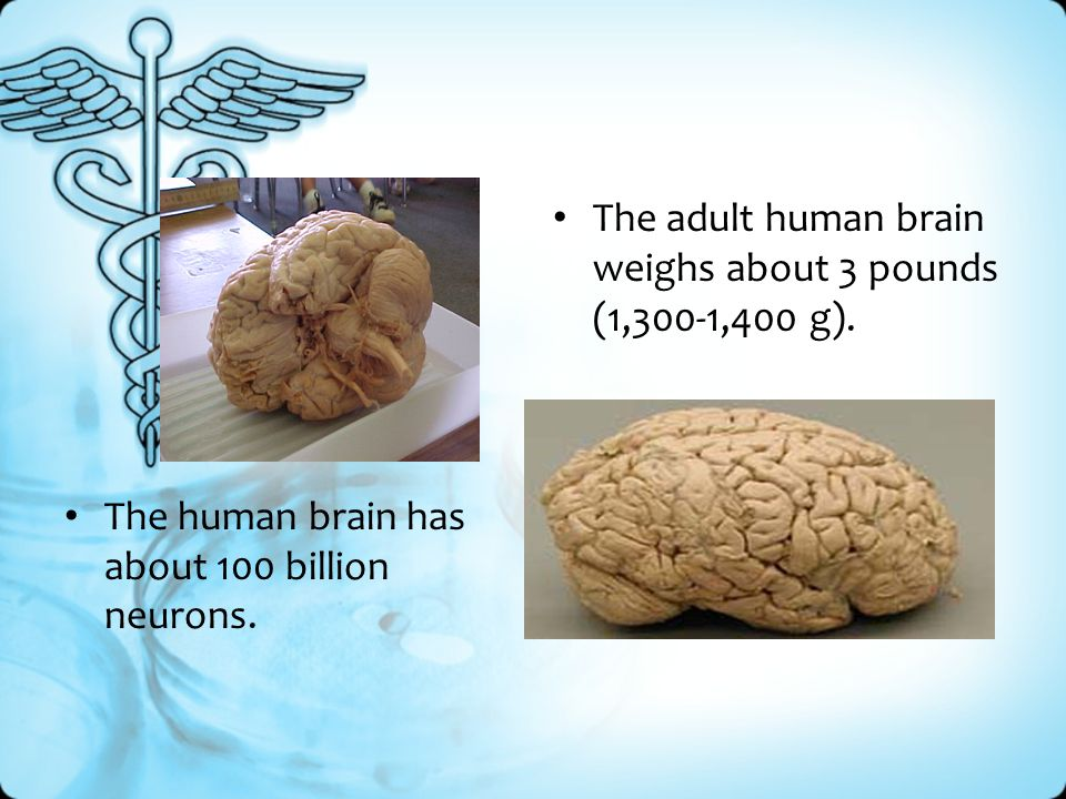 The human brain has about 100 billion neurons.