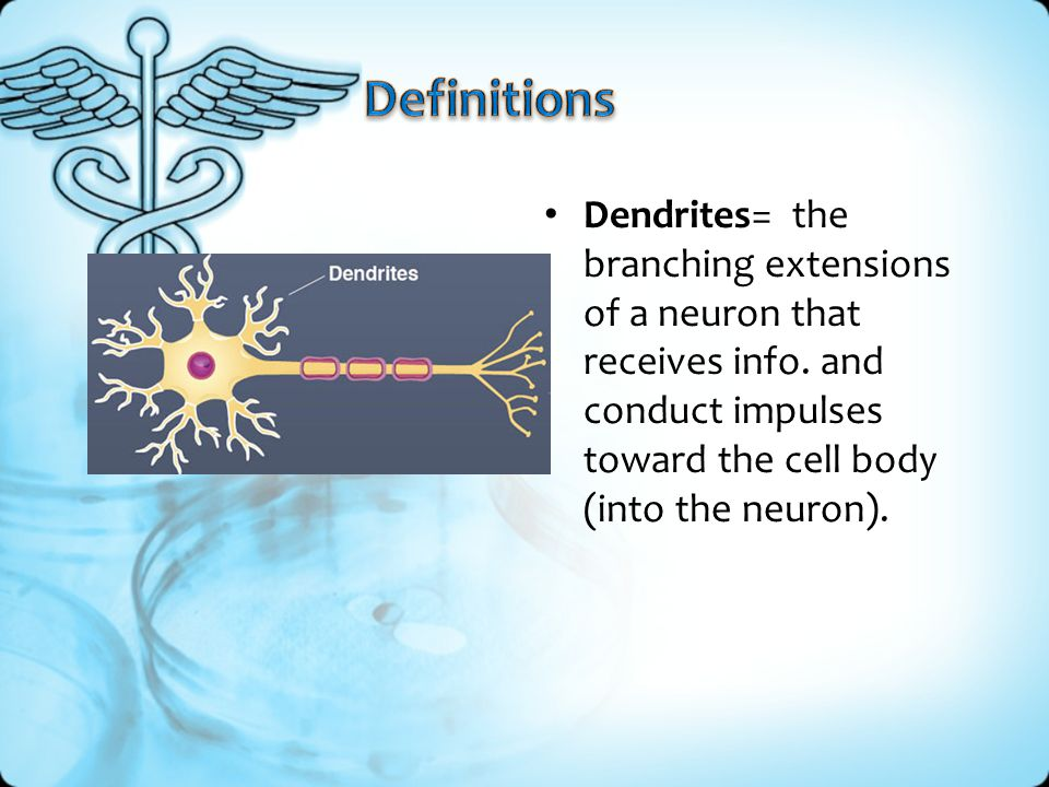 Definitions Dendrites= the branching extensions of a neuron that receives info.