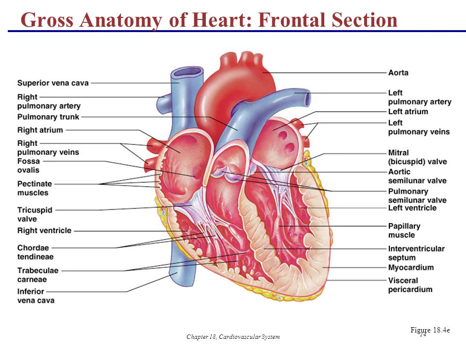 The Cardiovascular System The Heart Anatomy Ppt Video Online Download