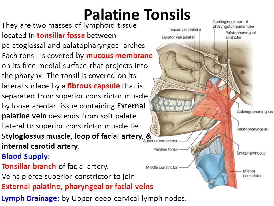 Contemporáneo Palatine Tonsils Pictures Inspiración - Imágenes de ...