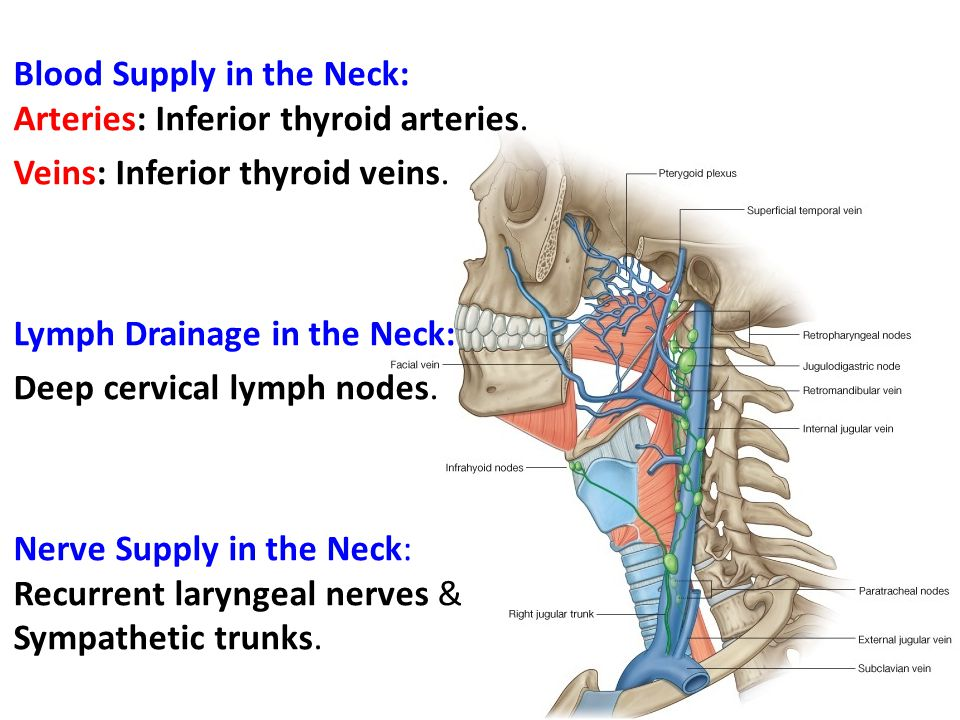 Blood Supply in the Neck: Arteries: Inferior thyroid arteries