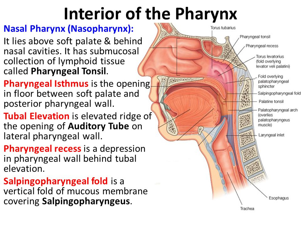 Interior of the Pharynx