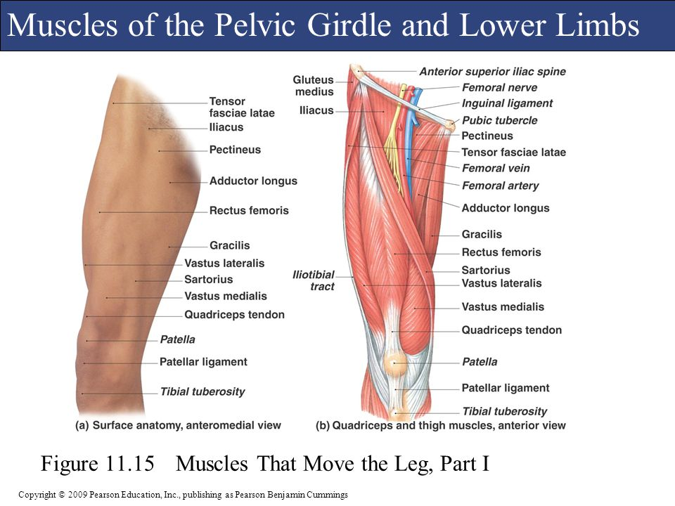 Appendicular Musculature Ppt Video Online Download