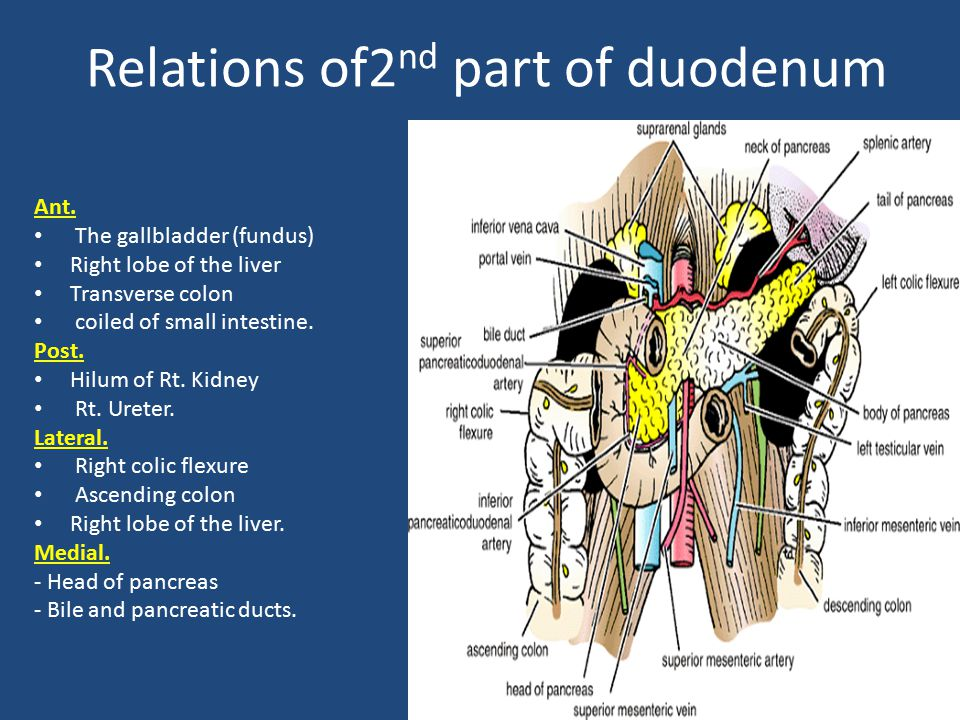 Relations of2nd part of duodenum