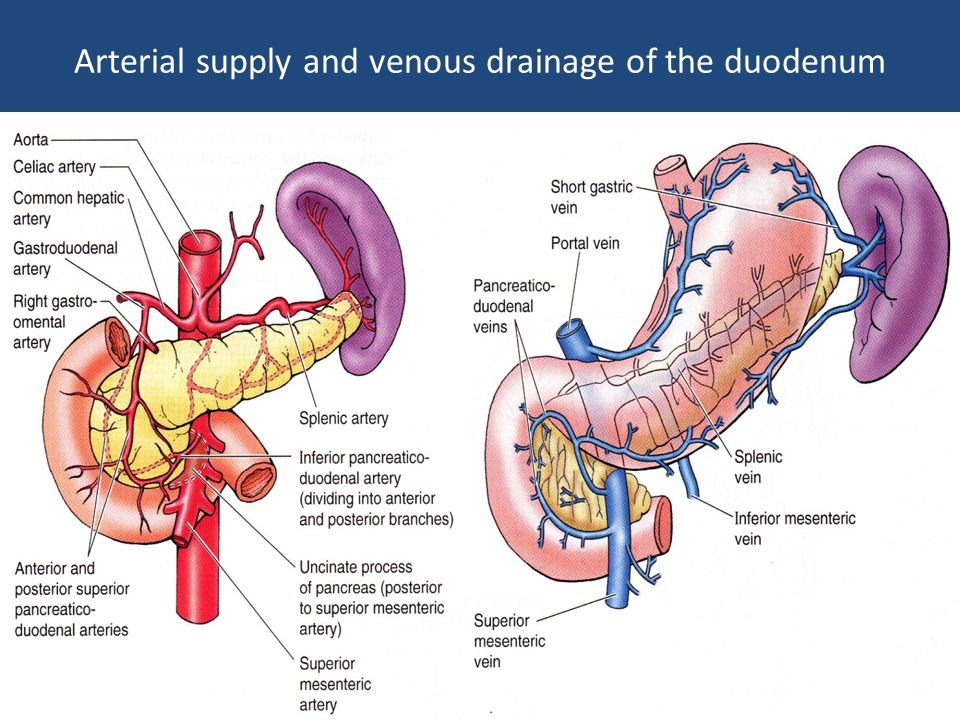Arterial supply and venous drainage of the duodenum