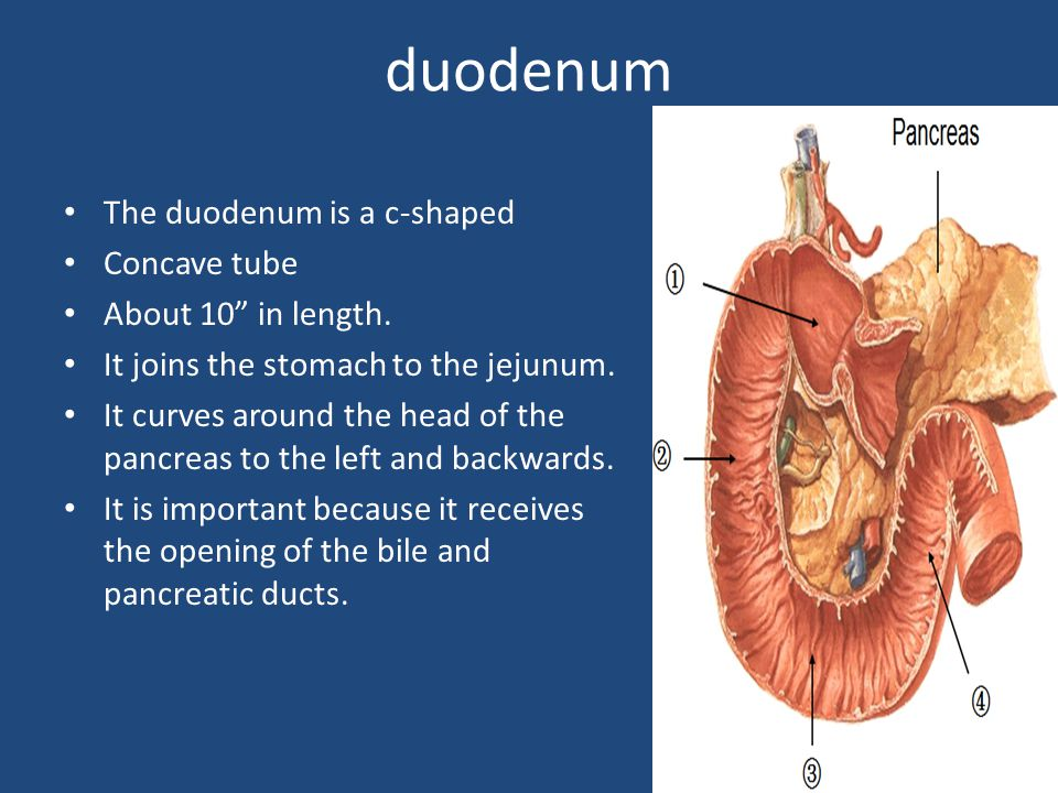 duodenum The duodenum is a c-shaped Concave tube About 10 in length.