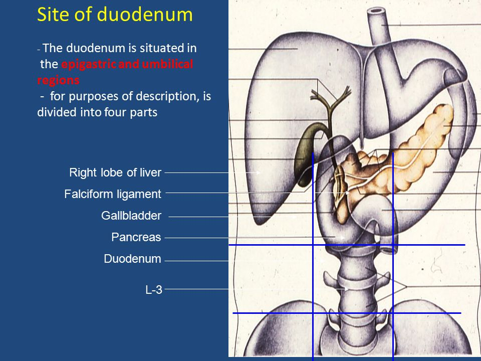 Site of duodenum - The duodenum is situated in the epigastric and umbilical regions - for purposes of description, is divided into four parts