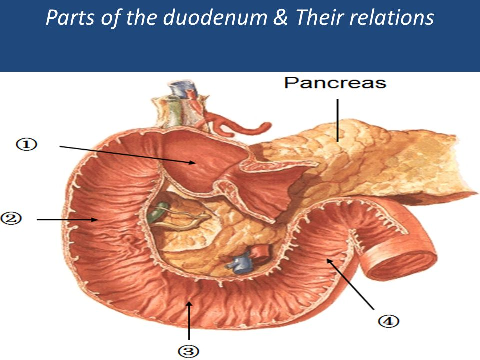 Parts of the duodenum & Their relations