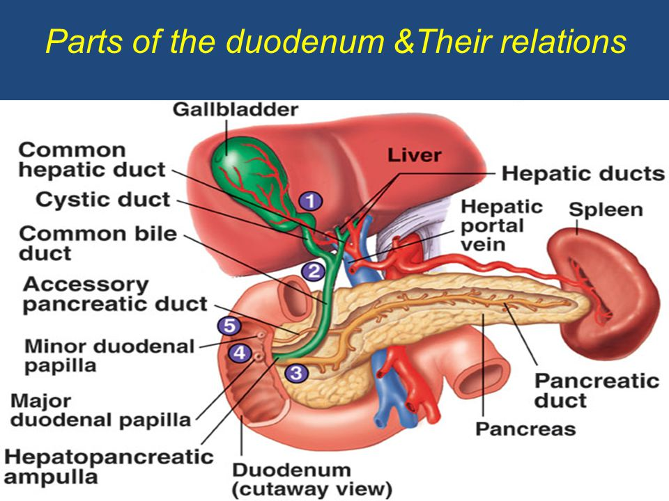 Parts of the duodenum &Their relations