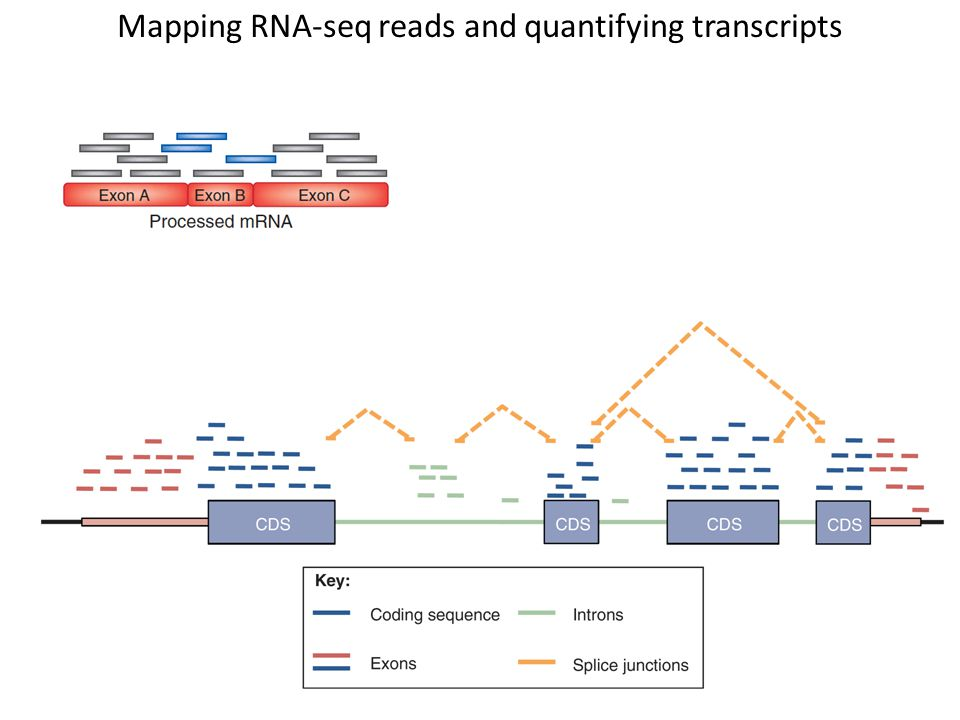 Mapping RNA-seq reads and quantifying transcripts
