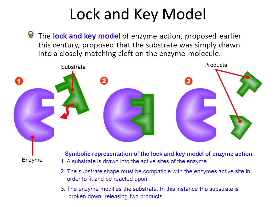 Biozone slideshow enzymes ppt video online download symbolic representation of the lock and key model of enzyme action ccuart Image collections