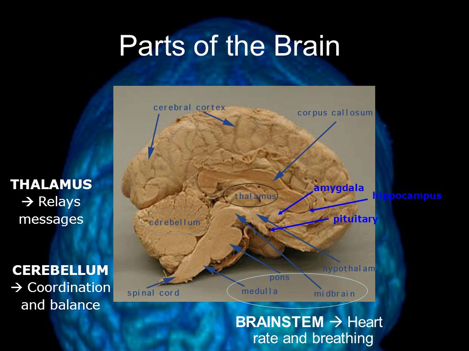 Brain Structure And Function Ppt Download