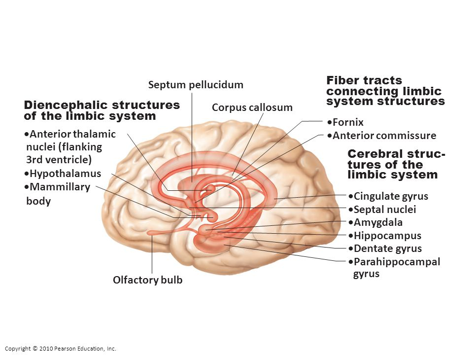 The Fore Brain Diencephalon. - ppt video online download