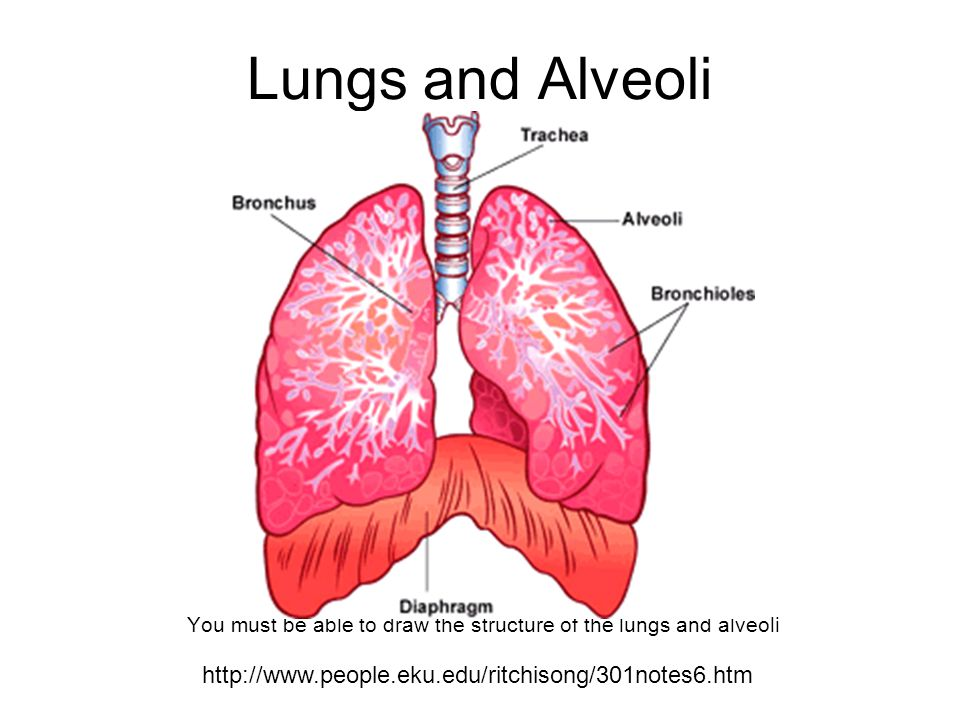You Must Be Able To Draw The Structure Of The Lungs And Alveoli