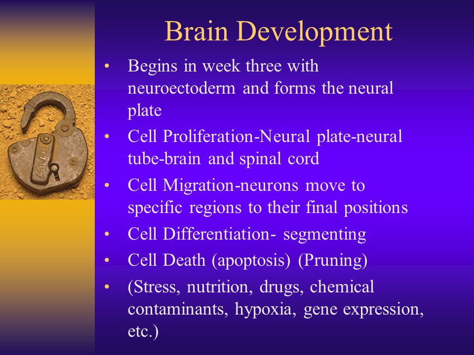 Brain Development Begins in week three with neuroectoderm and forms the neural plate.