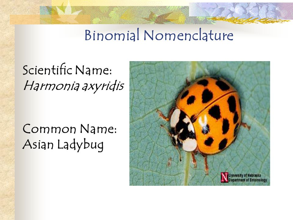 Healthy! Asian ladybug genus species name assured