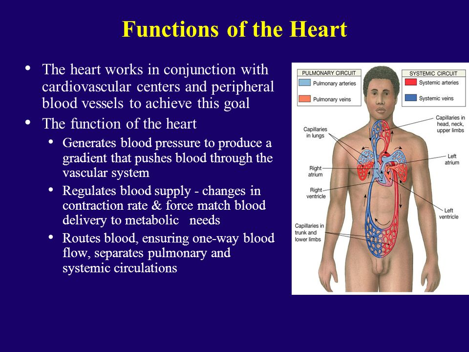 The Heart Ppt Video Online Download