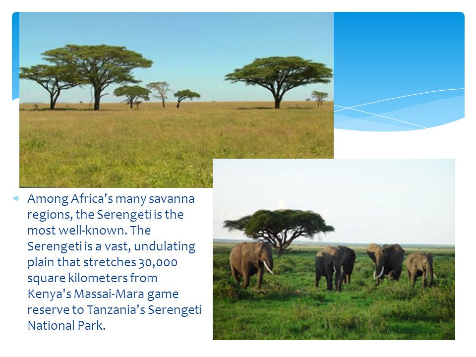 Among Africa s many savanna regions, the Serengeti is the most well-known.
