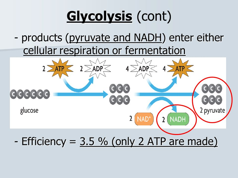 Glycolysis (cont) - products (pyruvate and NADH) enter either cellular respiration or fermentation.
