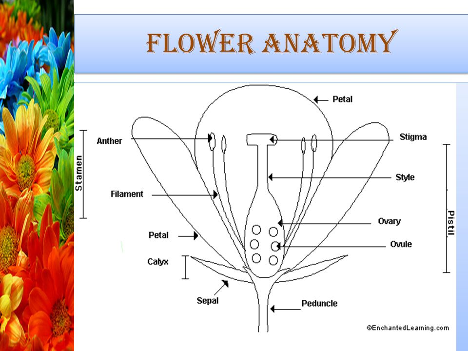 Flowers and Fruits. - ppt download