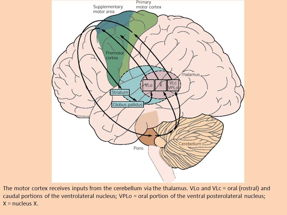 Motor Cortex, Cerebellum, Basal Ganglia - ppt download