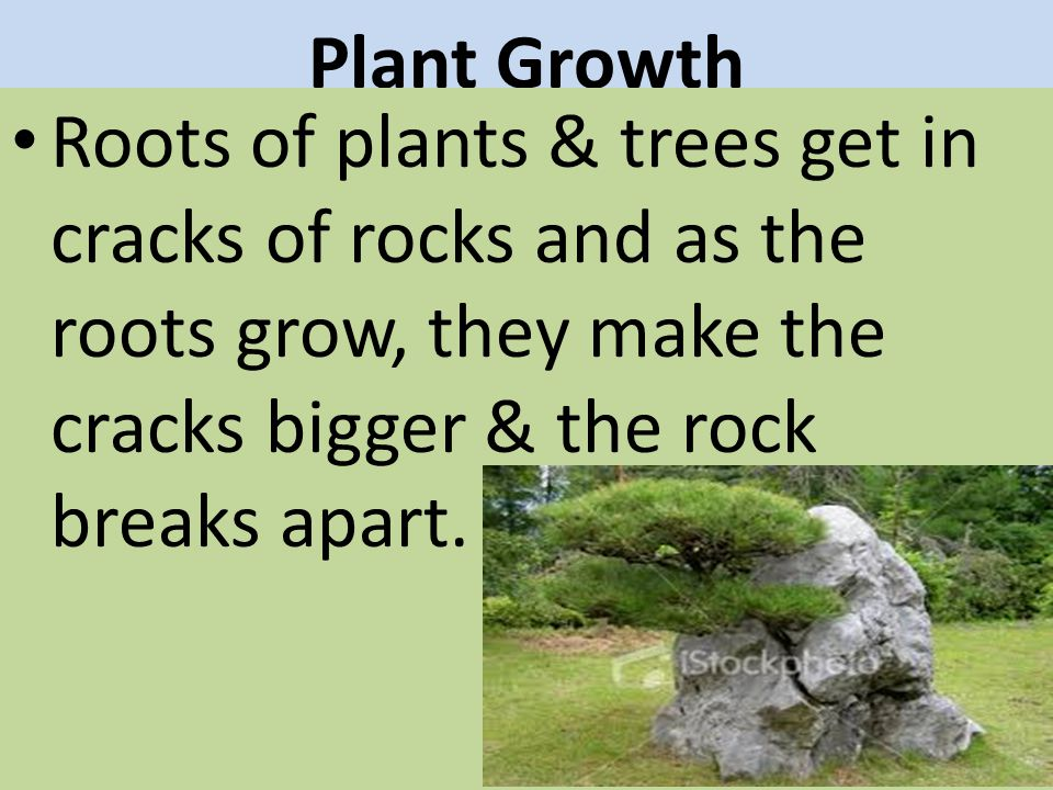 Plant Growth Roots of plants & trees get in cracks of rocks and as the roots grow, they make the cracks bigger & the rock breaks apart.
