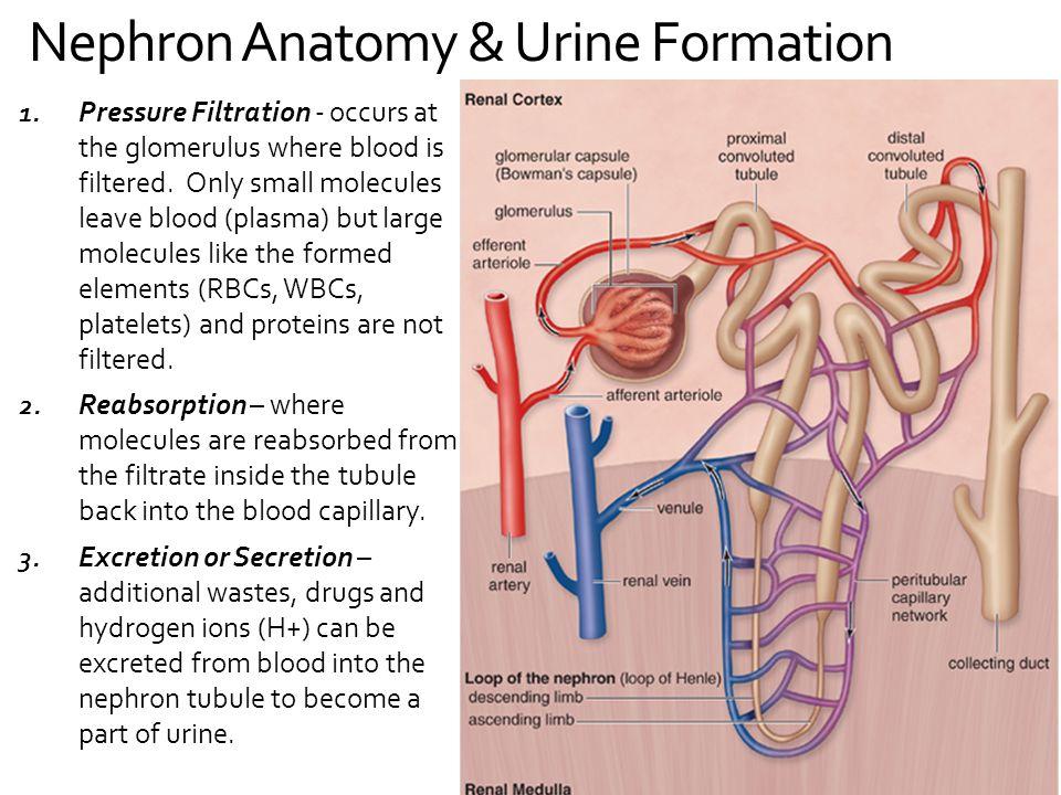 Perfect Anatomy Of A Nephron Composition - Internal organs diagram ...