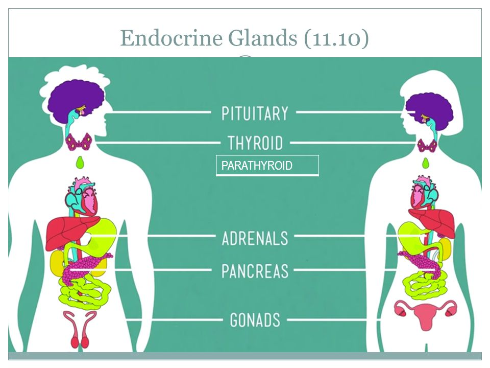 Endocrine Glands (11.10) PARATHYROID