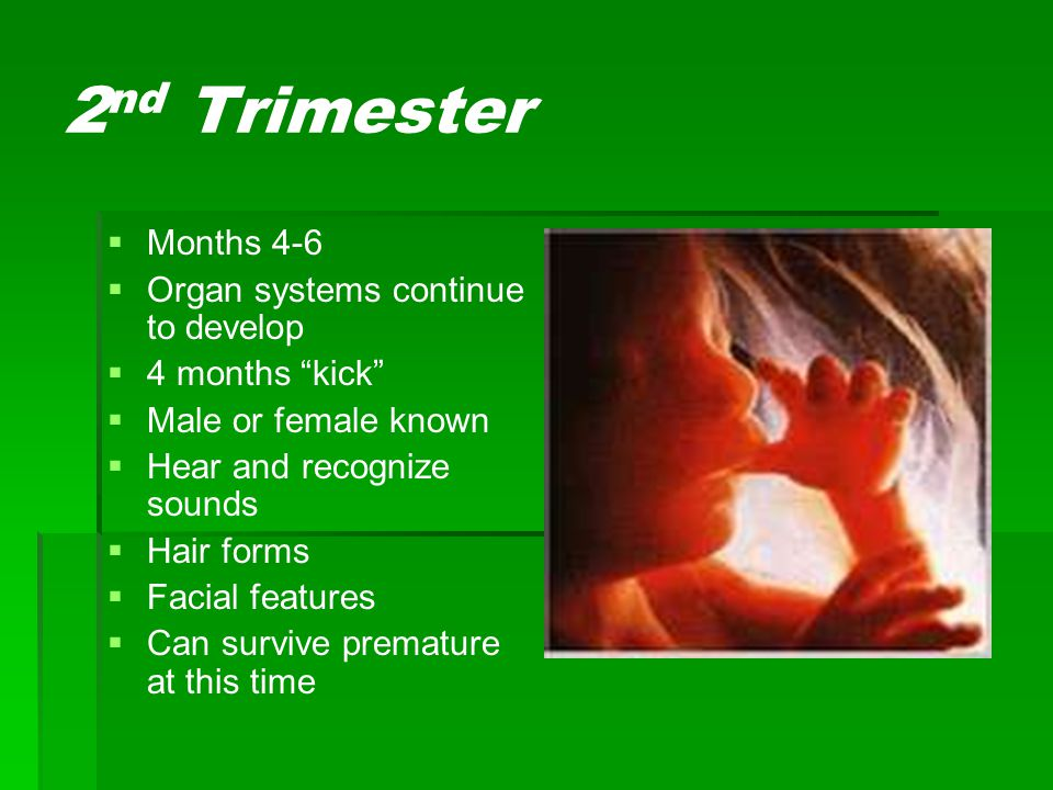 2nd Trimester Months 4-6 Organ systems continue to develop