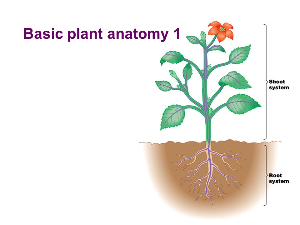 Magnificent Plant Anatomy And Physiology Pdf Illustration - Anatomy ...